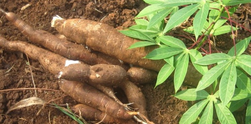 Cassava: Sustainable Weed Management Technologies gets SON support