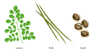 Moringa leaves, pods and seeds