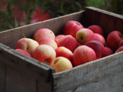 How to store apples