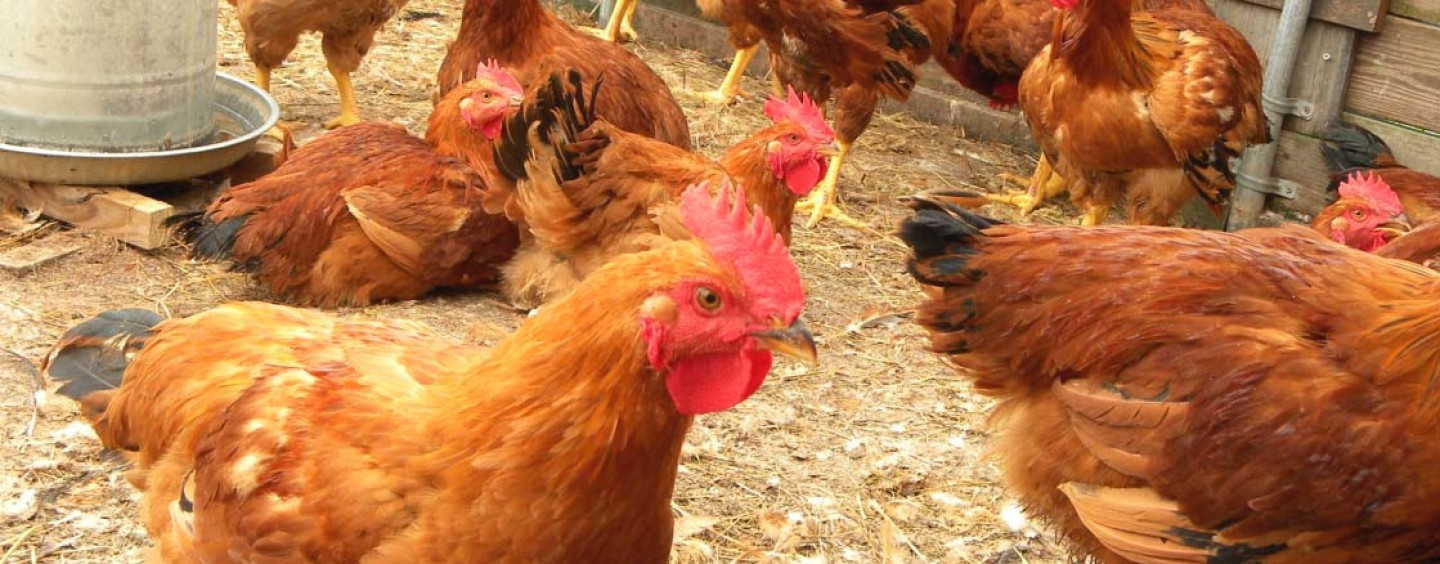 FG pledges support for local poultry industry