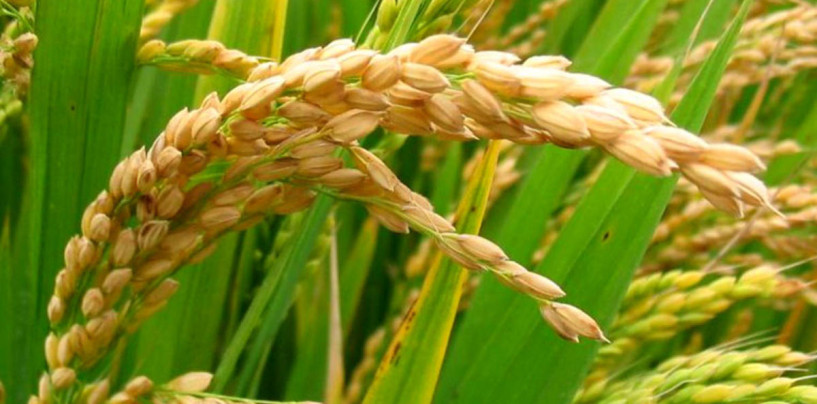 #FoodBusiness: Looking for wealth? Consider rice farming