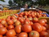 Govt's Policy On Tomato – an Appraisal